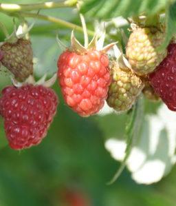 Frukt & Bær